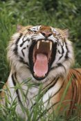 Gerry Ellis - Bengal Tiger yawning, Hilo Zoo, Hawaii