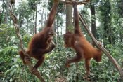 Gerry Ellis - Orangutan pair playing in trees, Borneo