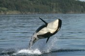 Gerry Ellis - Orca breaching along the Inside Passage, Alaska