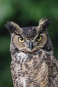 Gerry Ellis - Great Horned Owl close-up portrait, North America