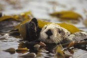 Gerry Ellis - Sea Otter floating in kelp bed, northern Pacific Ocean