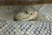 Gerry Ellis - Aruba Rattlesnake portrait, Aruba, West Indies Islands