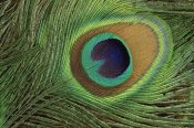 Gerry Ellis - Indian Peafowl display feathers, India to southeast Asia