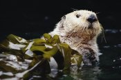 Gerry Ellis - Sea Otter portrait in Kelp, Pacific coast, North America
