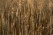 Gerry Ellis - Commercial hybrid Wheat cultivated, Sauvie Island, Oregon