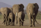 Gerry Ellis - African Elephant herd with calves, Amboseli National Park, Kenya