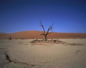 Gerry Ellis - Camelthorn snag on desert pan, Namib-Naukluft National Park, Namibia