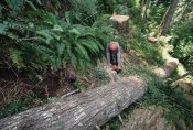 Gerry Ellis - Loggers clear cutting temperate rainforest, Pacific coast, North America