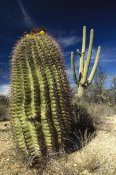Gerry Ellis - Saguaro with Fishhook Barrel Cactus in the foreground, Sonoran Desert, Arizona