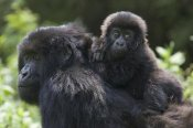 Suzi Eszterhas - Mountain Gorilla infant riding on mother's back, Parc National Des Volcans, Rwanda