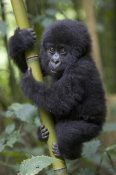 Suzi Eszterhas - Mountain Gorilla infant playfully climbing bamboo pole,  Parc National Des Volcans, Rwanda