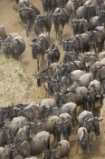 Suzi Eszterhas - Blue Wildebeest herd approaching the Mara River, Masai Mara National Reserve, Kenya