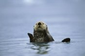 Suzi Eszterhas - Sea Otter, Prince William Sound, Alaska