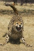 Suzi Eszterhas - Cheetah hissing, Cheetah Conservation Fund, Namibia