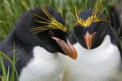 Suzi Eszterhas - Macaroni Penguin pair, Cooper Bay, South Georgia Island