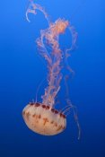 Suzi Eszterhas - Purple-striped Jellyfish, Monterey Bay Aquarium, California