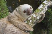 Suzi Eszterhas - Hoffmann's Two-toed Sloth, Aviarios Sloth Sanctuary, Costa Rica