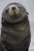 Suzi Eszterhas - Antarctic Fur Seal 1 to 2 week old pup, Salisbury Plain, South Georgia