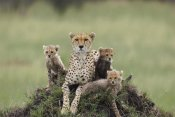Suzi Eszterhas - Cheetah mother and eight to nine week old cubs, Maasai Mara Reserve, Kenya