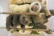 Suzi Eszterhas - Hoffmann's Two-toed Sloth orphaned babies, Aviarios Sloth Sanctuary, Costa Rica