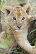 Suzi Eszterhas - African Lion six to seven week old cub, Masai Mara National Reserve, Kenya