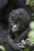 Suzi Eszterhas - Mountain Gorilla three month old infant, endangered, Parc National Des Volcans, Rwanda