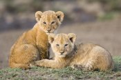 Suzi Eszterhas - African Lion four to five week old cubs, vulnerable, Masai Mara National Reserve, Kenya