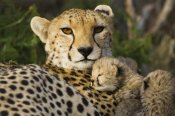 Suzi Eszterhas - Cheetah thirteen day old cub resting against mother in nest, Maasai Mara Reserve, Kenya