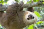 Suzi Eszterhas - Hoffmann's Two-toed Sloth six month old orphan in tree, Aviarios Sloth Sanctuary, Costa Rica