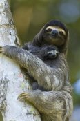 Suzi Eszterhas - Brown-throated Three-toed Sloth mother and newborn baby, Aviarios Sloth Sanctuary, Costa Rica