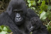 Suzi Eszterhas - Mountain Gorilla mother and three month old infant, endangered, Parc National Des Volcans, Rwanda