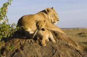 Suzi Eszterhas - African Lion cub playing with its mother's tail, vulnerable, Masai Mara National Reserve, Kenya