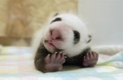 Katherine Feng - Giant Panda baby stretching, Wolong Nature Reserve, China