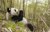 Katherine Feng - Xiang Xiang eating bamboo, Wolong Nature Reserve, China