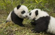 Katherine Feng - Giant Panda two cubs touching noses, Wolong Nature Reserve, China