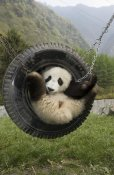 Katherine Feng - Giant Panda cub playing in tire swing, Wolong Nature Reserve, China