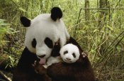 Katherine Feng - Giant Panda Gongzhu and cub in bamboo forest, Wolong Nature Reserve, China