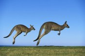 Jean-Paul Ferrero - Eastern Grey Kangaroo two adults hopping, Murramarang National Park, New South Wales