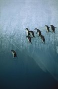 Jean-Paul Ferrero - Chinstrap Penguins group jumping off blue iceberg into water below, Sandwich Islands, Antarctica