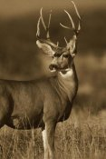 Tim Fitzharris - Mule Deer male in dry grass, North America - Sepia