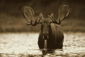 Tim Fitzharris - Moose male raising its head while feeding on the bottom of a lake, North America