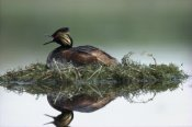 Tim Fitzharris - Black-necked Grebe calling while incubating eggs on floating nest, North America