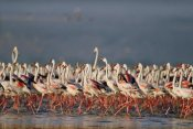 Tim Fitzharris - Greater Flamingo and Lesser Flamingo flock in a mass courtship dance, Lake Nakuru, Kenya