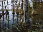 Tim Fitzharris - Bald Cypress at upper Blue Basin, Reelfoot National Wildlife Refuge, Tennessee