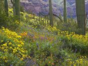 Tim Fitzharris - Saguaro amid flowering Lupine, Organ Pipe Cactus National Monument, Arizona