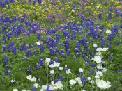 Tim Fitzharris - Prickly Poppy, Pointed Phlox and Squaw-weed, Hill Country, Texas