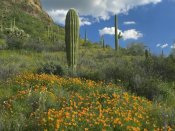 Tim Fitzharris - California Poppy and Saguaro cacti, Organ Pipe Cactus National Monument, Arizona