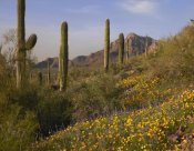 Tim Fitzharris - Saguaro cacti and California Poppy field at Picacho Peak State Park, Arizona