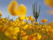 Tim Fitzharris - Saguaro cactus and California Poppy field at Gonzales Pass, Tonto National Forest, Arizona