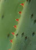 Tim Fitzharris - Cape Aloe spines